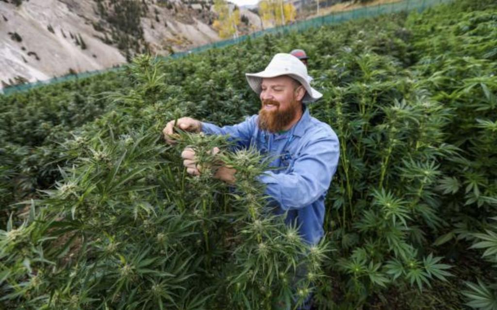 Cannabis Farmer Working